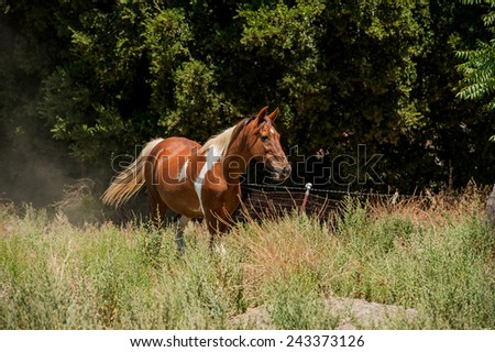 Paint Horse Mare in Pasture