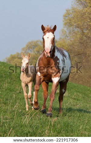 Paint horse mare running with sweet foal - stock photo