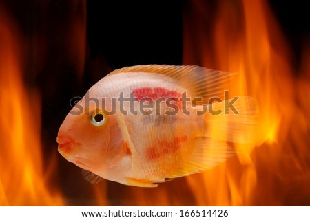 Painted blood parrot cichlids (Cichlasoma sp.) in fire - stock photo