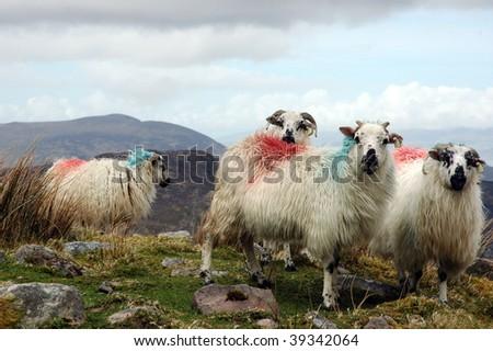 painted irish sheep - stock photo