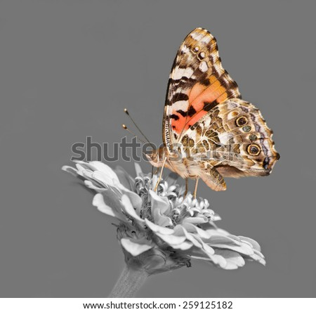 Painted Lady butterfly feeding on a Zinnia flower - color spot on black and white - stock photo