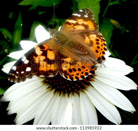 Painted Lady Butterfly on white Cone Flower - stock photo