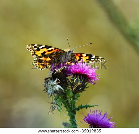Painted lady Butterfly sitting on a Thistle Flower