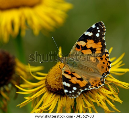 Painted Lady Butterfly (Vanessa cardui) on a yellow flower.