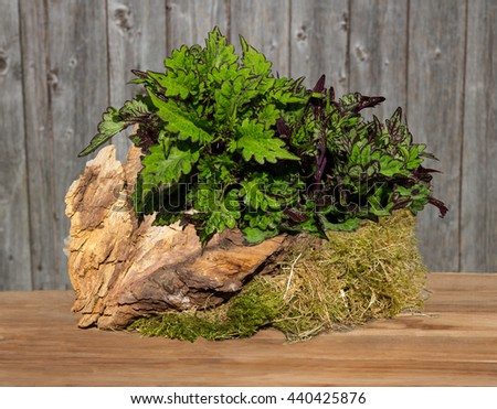 Painted nettle or plectranthus scutellarioides decorated on a wooden table with a root and moss.
