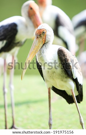Painted Stork close up background