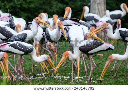 Painted storks feeding - stock photo