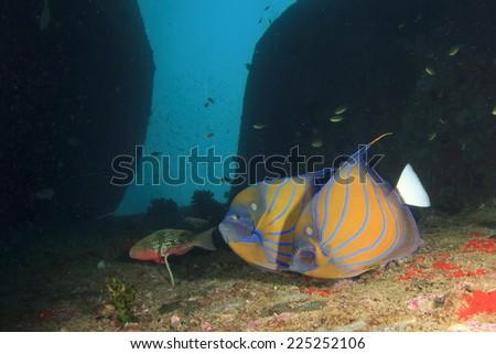 Pair Blue-ringed Angelfish - stock photo