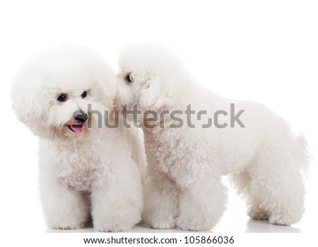 pair of adorable bichon frise puppy dogs playing and sniffing each other - stock photo