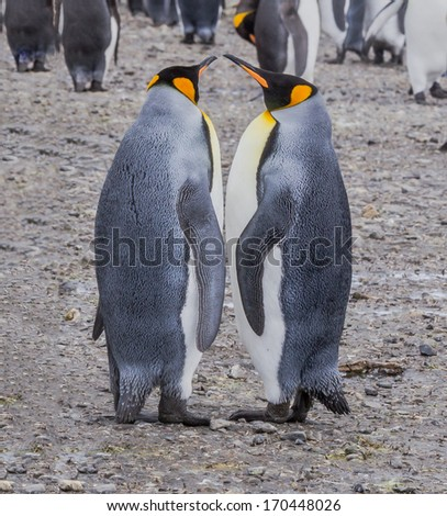Pair of adult king penguins performing mating movements - stock photo