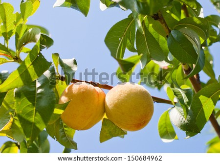 Pair of apricot on a branch