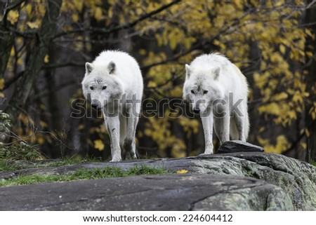 Pair of Arctic Wolves - stock photo