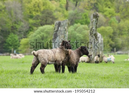 Pair of Baby Sheep with Ancient Monoliths of Nether Largie in Background.  Kilmartin Glen, Argyll, Scotland - stock photo