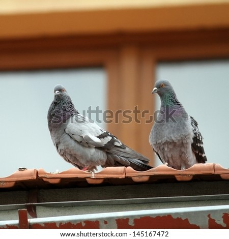 pair of beautiful pigeons standing together on the roof of a house - stock photo
