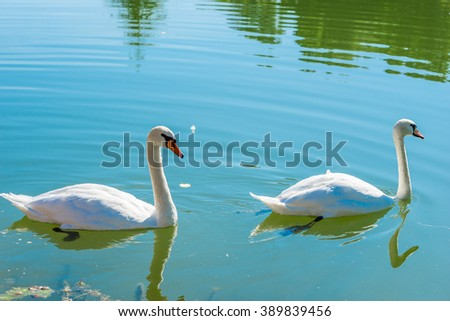 pair of beautiful white swans on a pond on a sunny day - stock photo