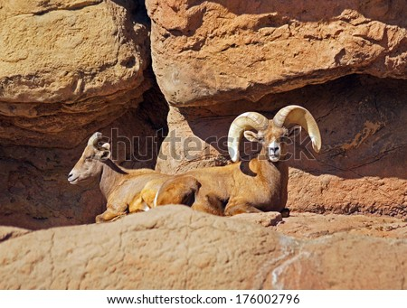 Pair of big horn sheep laying on the rocks - stock photo