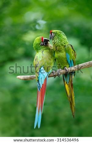 Pair of birds, green parrot Military Macaw,  Ara militaris, Costa Rica - stock photo