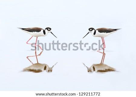 Pair of Black-necked Stilts (Himantopus mexicanus) - Everglades National Park, Florida - stock photo