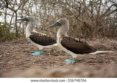 Pair of blue-footed boobies - Gannet sea birds , Ecuador - stock photo
