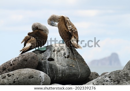 Pair of Blue-footed Boobies (Sula nebouxii) in Lobos island with kicker rock at background, Galapagos. - stock photo