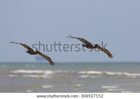 Pair of Brown Pelicans (Pelecanus occidentalis) Soaring Over the Gulf of Mexico in Spring - Bolivar Peninsula, Texas - stock photo