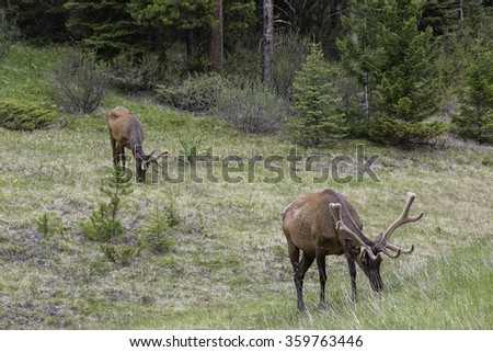 Pair of Bull Elk Feeding in Banff National Park, Alberta - stock photo