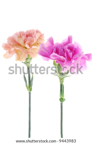 Pair of Carnation - stock photo