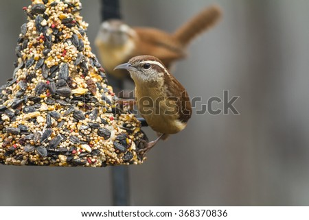 Pair of Carolina Wrens (Thryothorus ludovicianus) feeding on bell-shaped block of dried fruit and seeds with selective focus on bird in front and distant bird out of focus. - stock photo