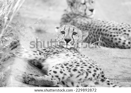 Pair of Cheetah laying in shade, Namibia - stock photo