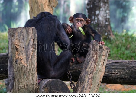 pair of chimpanzee feeding in a zoological park - stock photo