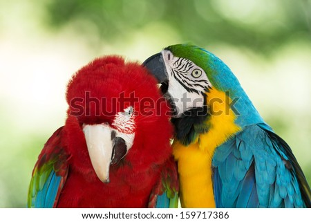 Pair of colorful Macaws parrots - stock photo