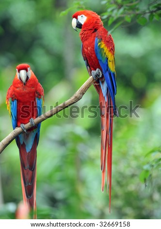 pair of costa rican scarlet macaws on tree, corcovado, costa rica, central america, exotic rainbow colorful parrots red bird in green vibrant lush tropical jungle country - stock photo