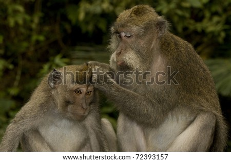 Pair of crab eating macaques (Macaca fascicularis) grooming. Taken in Ubud Monkey Forest, Bali.