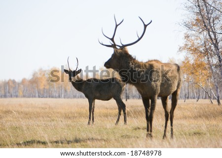 Pair of deers - stock photo