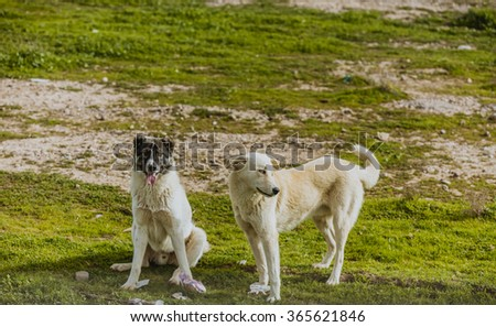 Pair of dogs in Iraqi countryside  - stock photo