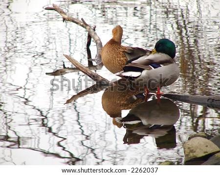 Pair of ducks on the autumn river - stock photo
