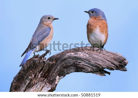 Pair of Eastern Bluebirds (Sialia sialis) on a log - stock photo