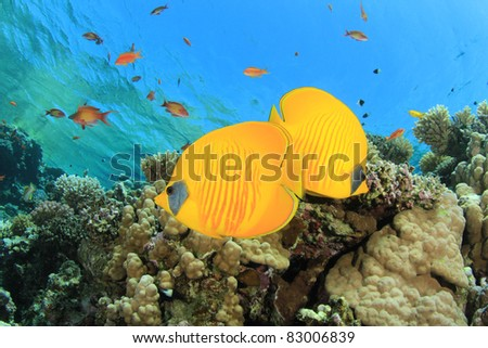Pair of Fish on tropical coral reef: Masked Butterflyfish