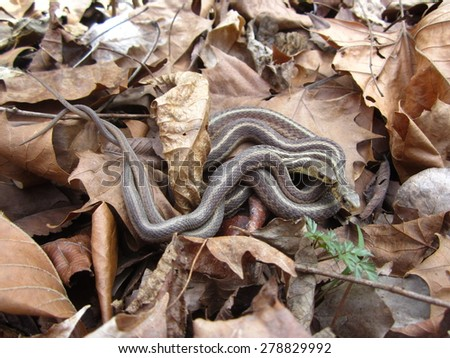 Pair of garter snakes (Thamnophis) resting in dry leaves at Hueston Woods in SW Ohio.