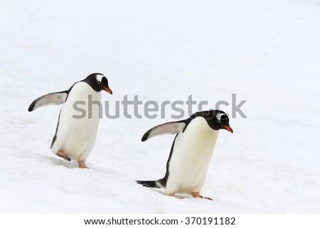 Pair of gentoo penguins walking synchronized across snow at Neko Harbor, Antarctica. - stock photo