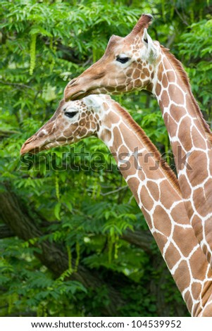 pair of giraffes - stock photo