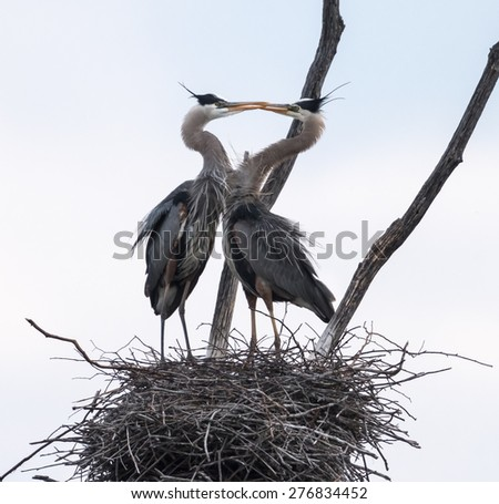 Pair of great blue herons build a nest - stock photo