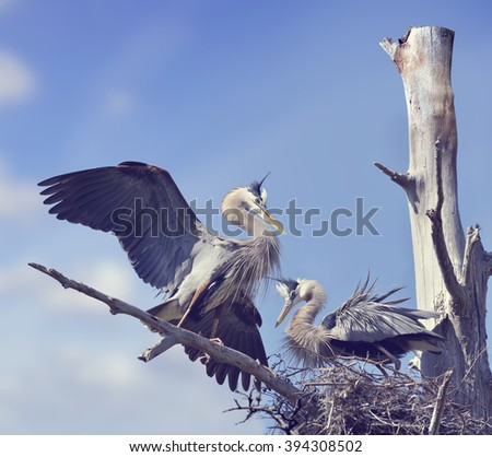 Pair of Great Blue Herons in the Nest - stock photo