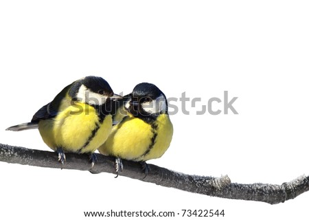 Pair of Great tit birds on twig isolated on white - stock photo