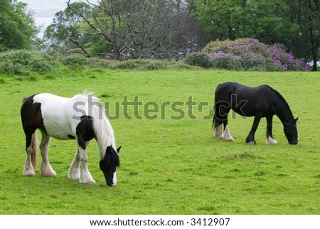 Pair of horses grazing in a field - stock photo