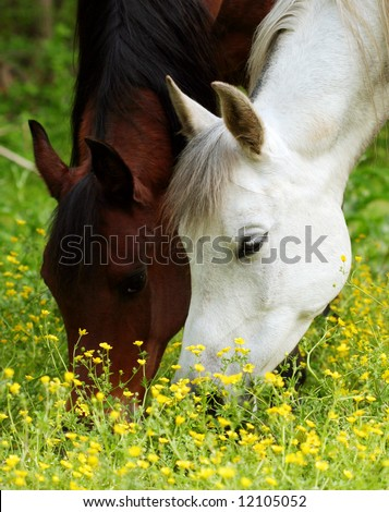 Pair of horses grazing side by side - stock photo