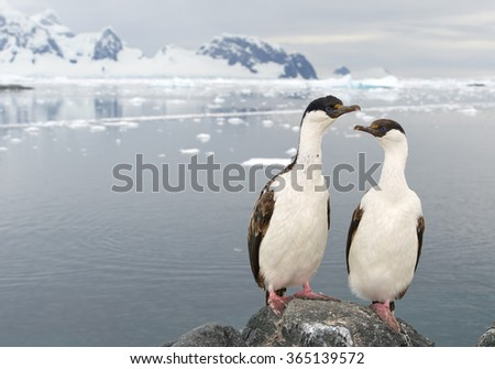 Pair of Imperial shags, sitting on the rock, with sea and mountain background, Antarctic Peninsula, Antarctica