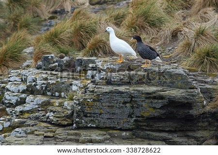 Pair of Kelp Geese (Chloephaga hybrida malvinarum) on a cliff overlooking the sea on Bleaker Island in the Falkland Islands.