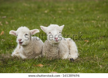 Pair of lamb siblings laying in green grass pasture on farm - stock photo