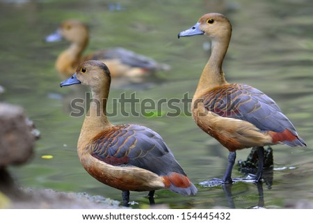Pair of Lesser Whistling Duck (Dendrocygna javanica) - stock photo